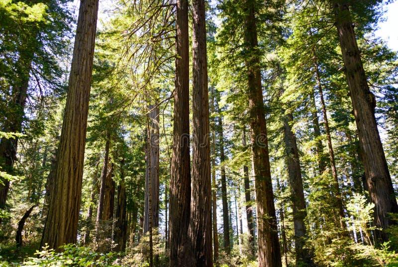 Parque nacional da sequoia vermelha foto de stock royalty free