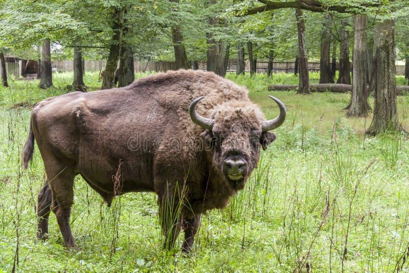 Parque nacional de Bialowieski - Polonia. Cabeza del Aurochs. imágenes de archivo libres de regalías