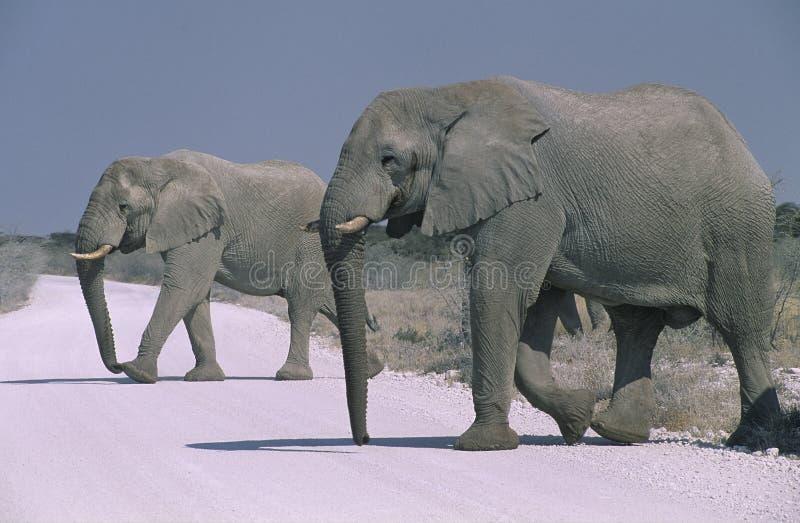 Parque nacional de Etosha do elefante africano imagem de stock royalty free