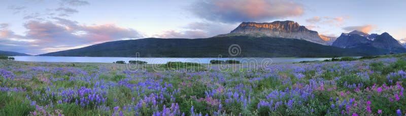 Parque nacional de geleira do campo do Lupine imagem de stock