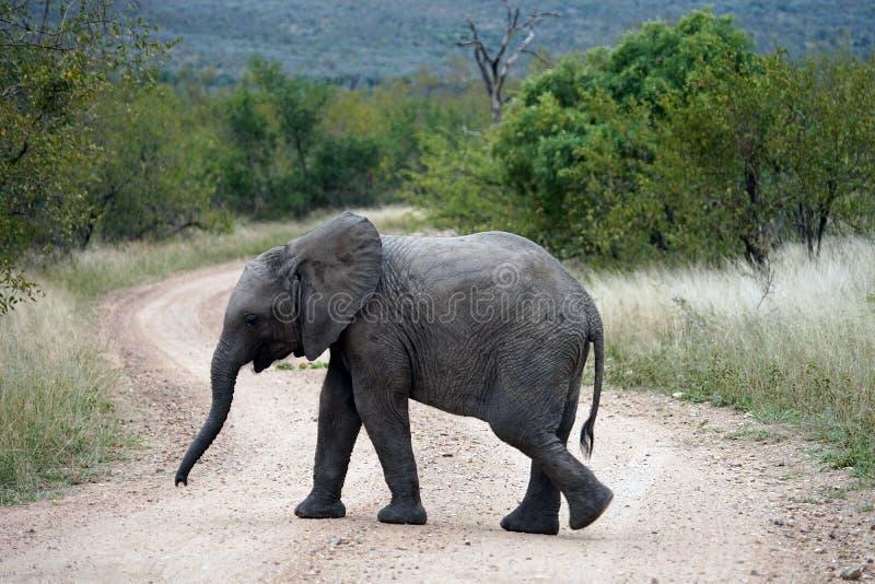 Parque nacional de Kruger del elefante africano solamente en el desierto fotografía de archivo