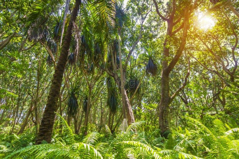 Parque nacional de la bahía de Jozani Chwaka del bosque de la selva, Zanzíbar, Tanzania imagen de archivo libre de regalías