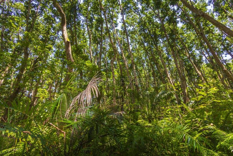 Parque nacional de la bahía de Jozani Chwaka del bosque de la selva, Zanzíbar, Tanzania fotografía de archivo libre de regalías