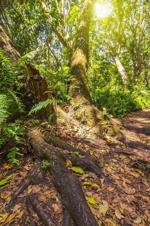 Parque nacional de la bah?a de Jozani Chwaka del bosque de la selva, Zanz?bar, Tanzania fotografía de archivo libre de regalías