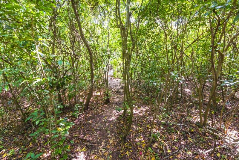 Parque nacional de la bah?a de Jozani Chwaka del bosque de la selva, Zanz?bar, Tanzania imagen de archivo libre de regalías