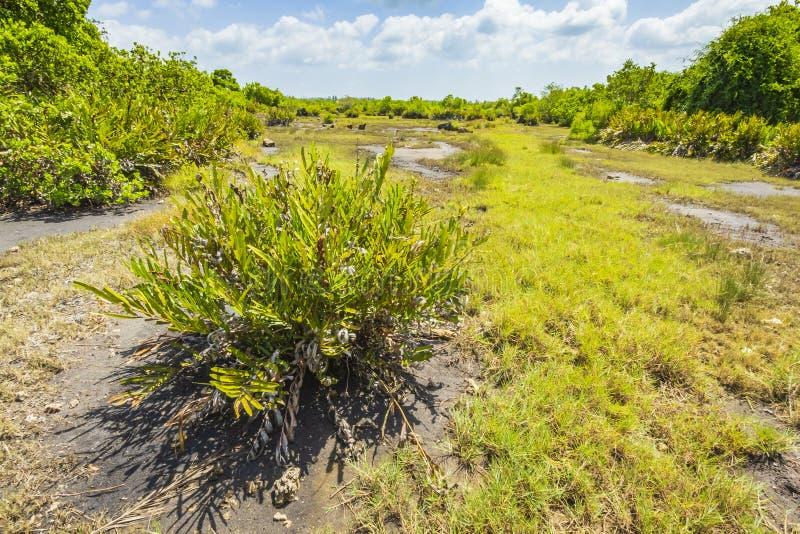 Parque nacional de la bah?a de Jozani Chwaka del pantano del bosque de la selva, Zanz?bar, Tanzania imagen de archivo libre de regalías