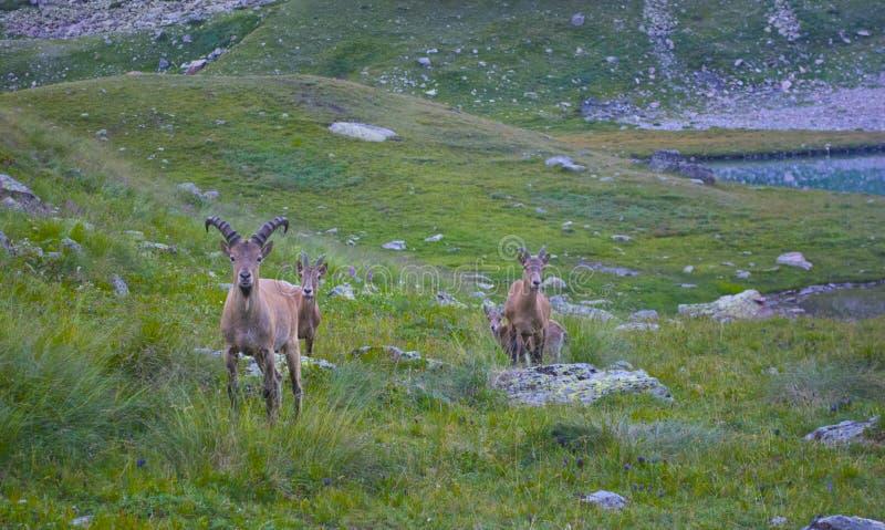Parque nacional de la gamuza salvaje en las montañas imagen de archivo