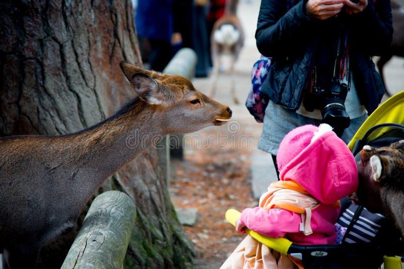Parque nacional de los ciervos en Kofuku-ji, Nara, Japón Es popular sobre usted puede alimentar las galletas del arroz a los cier imagen de archivo