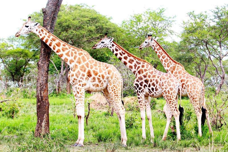 Parque nacional de Murchison Falls, Uganda fotografia de stock royalty free