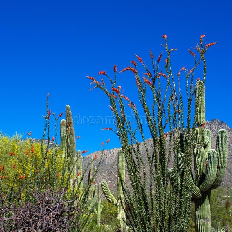 Parque nacional de Saguaro foto de archivo libre de regalías