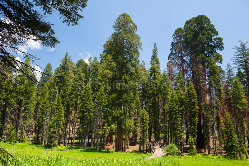 Parque nacional de secoya, los E.E.U.U. imagenes de archivo