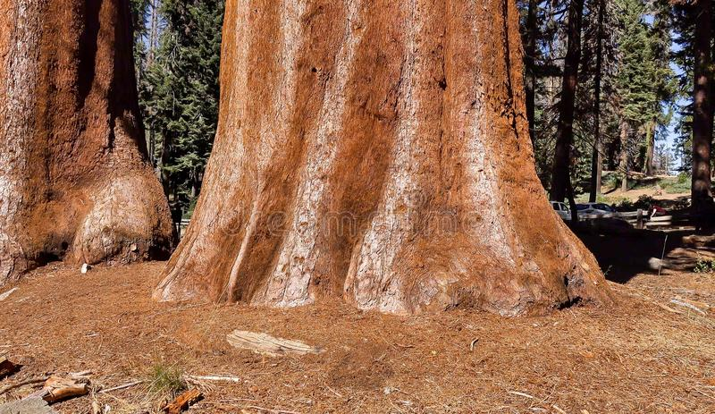 Parque nacional de sequoia a floresta gigante fotos de stock royalty free