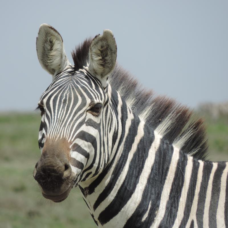 Parque nacional de Serengeti da zebra, Tanzânia fotografia de stock royalty free