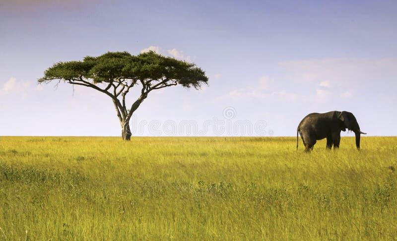 Parque nacional de Serengeti del árbol del elefante y del acacia fotos de archivo