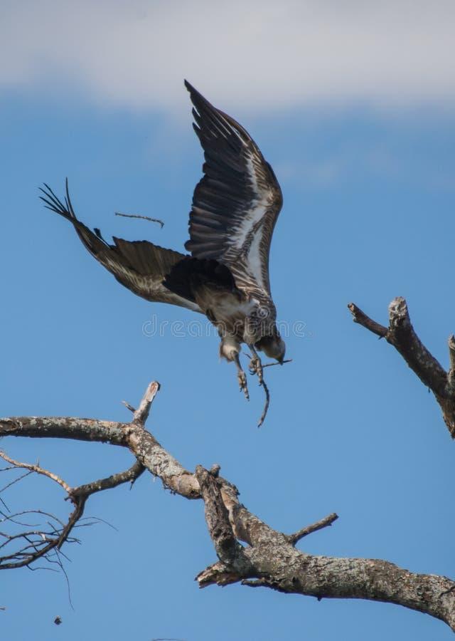 Parque nacional de Tarangire, Tanzania - el swooping del buitre fotografía de archivo libre de regalías