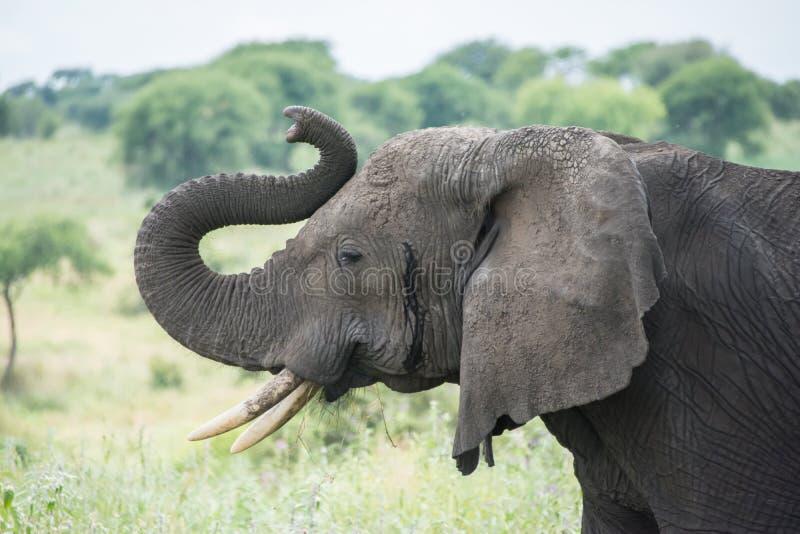 Parque nacional de Tarangire, Tanzania - elefante africano imagen de archivo libre de regalías