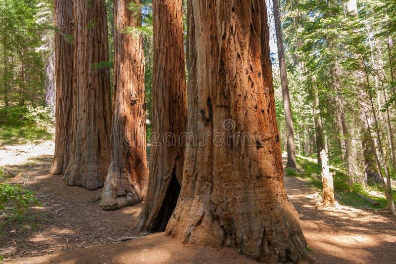 Parque nacional de Yosemite - sequóias vermelhas do bosque de Mariposa imagem de stock royalty free