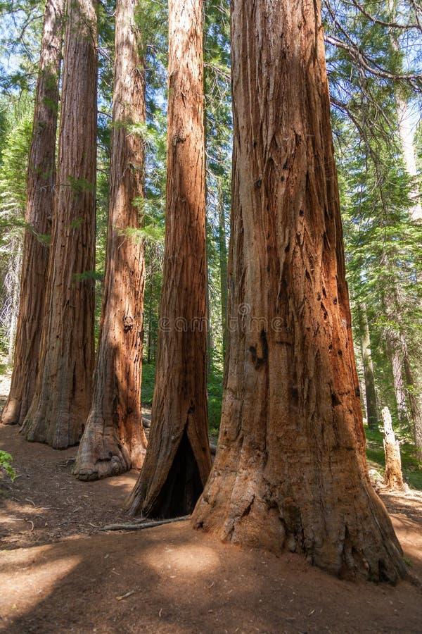 Parque nacional de Yosemite - sequóias vermelhas do bosque de Mariposa fotos de stock