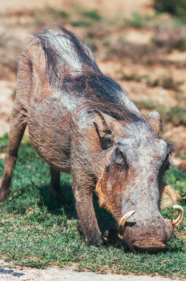 Parque nacional do elefante de Addo, cabo oriental, África do Sul imagens de stock