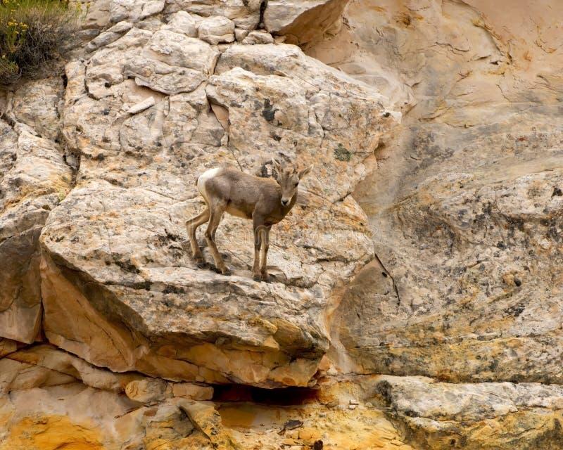 Parque nacional do recife do Capitólio dos carneiros de Bighorn do deserto do bebê imagem de stock royalty free
