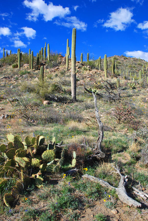 Parque nacional do Saguaro imagem de stock royalty free