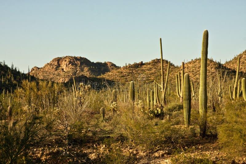 Parque nacional do Saguaro do Arizona imagens de stock