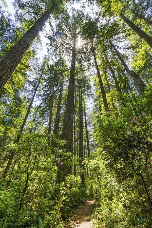 Parque nacional elevando-se de passeio Califórnia das sequoias vermelhas das árvores altas da fuga fotos de stock royalty free