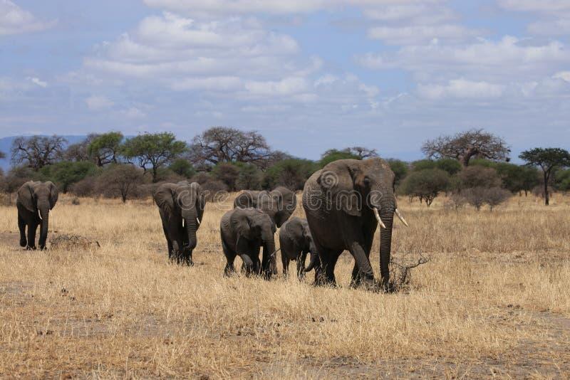Parque nacional Tanzânia de Tarangire da família do elefante foto de stock