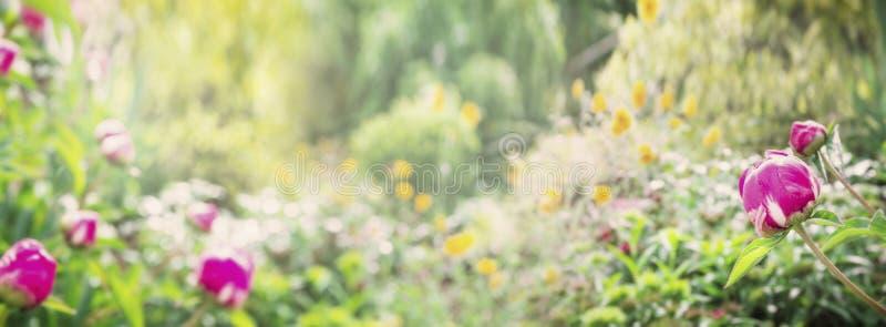 Parque o jardín del verano con la planta de la peonía, fondo de la naturaleza, bandera imagen de archivo