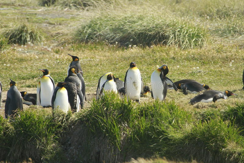 Parque Pinguino Rey - het park van KoningsPenguin op Tierra del fueg stock foto's