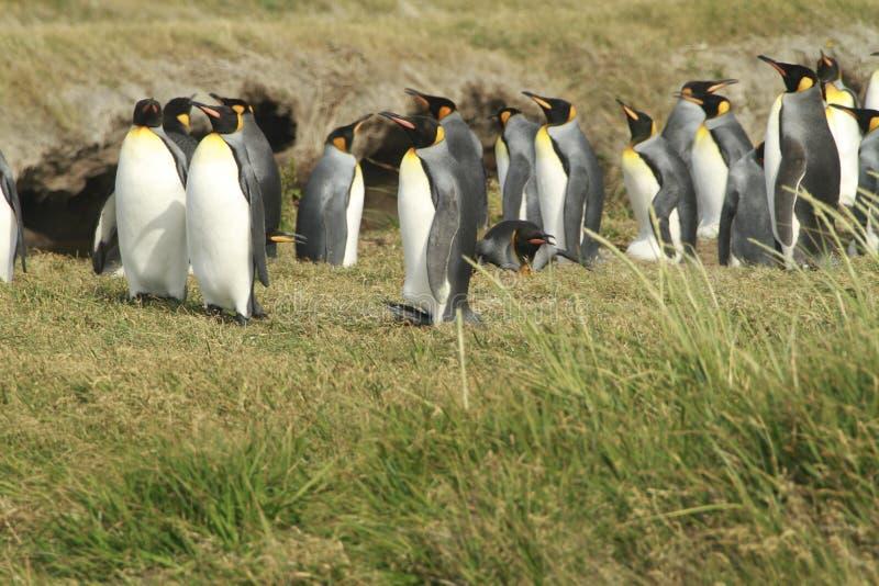 Parque Pinguino Rey - het park van KoningsPenguin op Tierra del fueg royalty-vrije stock foto's