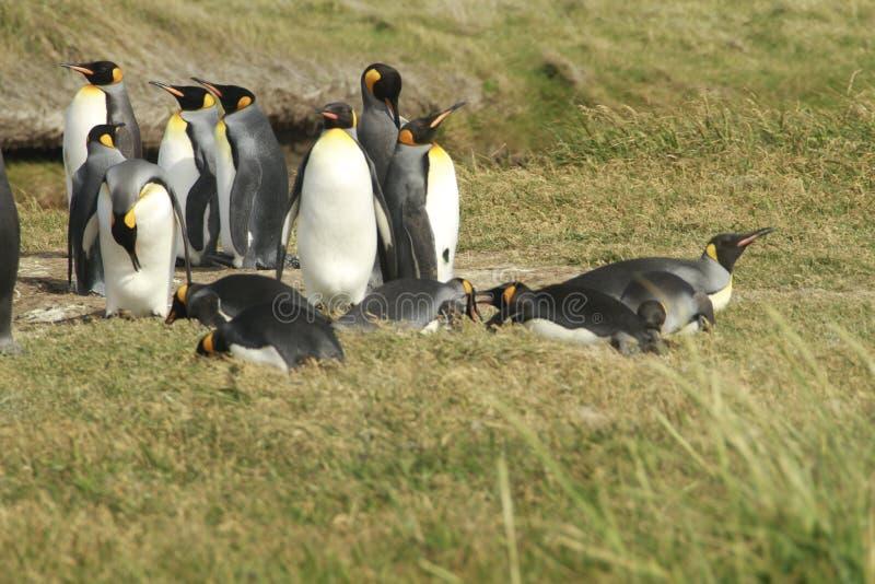 Download Parque Pinguino Rey - Królewiątko Pingwinu Park Na Tierra Del Fueg Obraz Stock - Obraz złożonej z ptak, czerń: 57670543