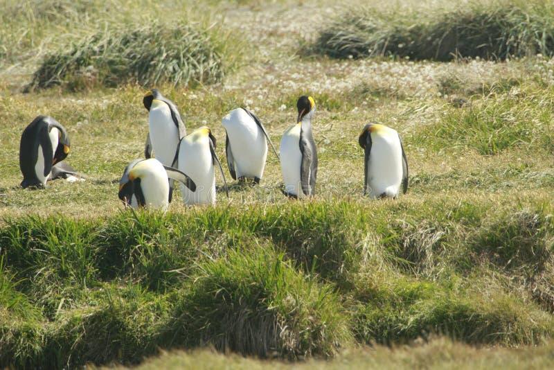 Download Parque Pinguino Rey - Królewiątko Pingwinu Park Na Tierra Del Fueg Zdjęcie Stock - Obraz złożonej z biały, patagonia: 57670632