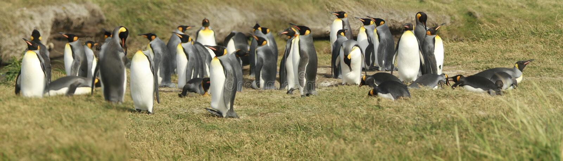 Download Parque Pinguino Rey - Królewiątko Pingwinu Park Na Tierra Del Fueg Obraz Stock - Obraz złożonej z woda, końcówka: 57670689