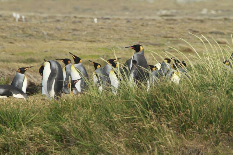 Parque Pinguino Rey - parque do rei Penguin em Tierra del fueg imagem de stock royalty free