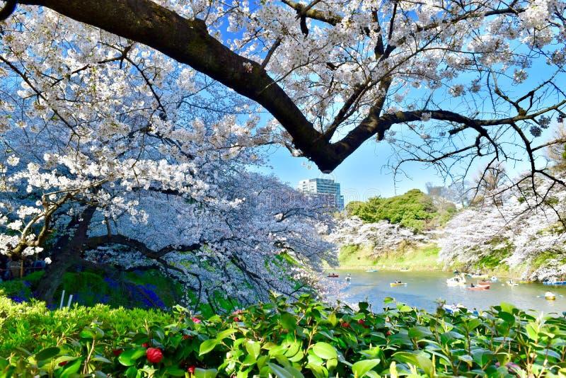 Parque Tokio del chodorigafuhi de Sakura de la flor de cerezo imagen de archivo