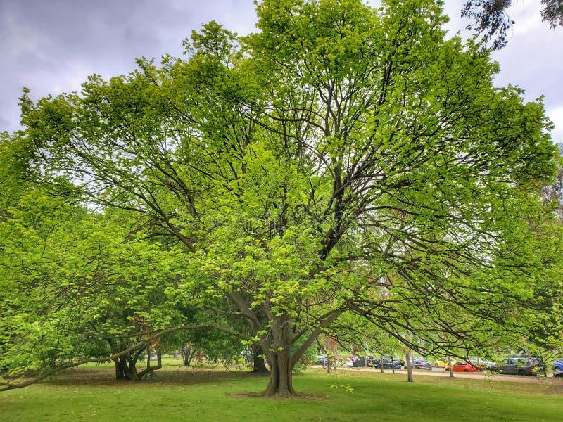 Parque verde árbol bigote Melbourne Australia foto de archivo