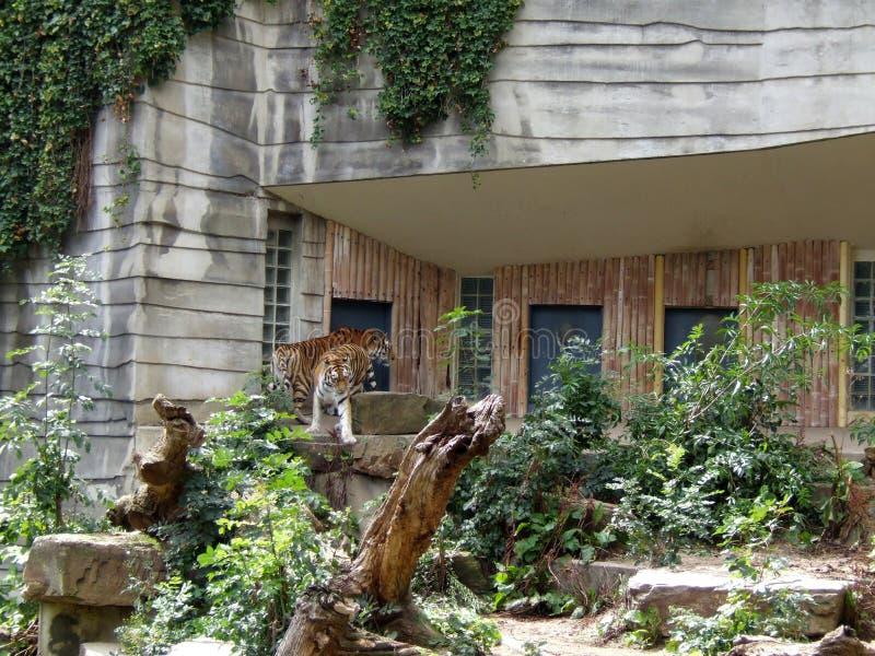 Parque zoológico Amberes de los tigres imagenes de archivo