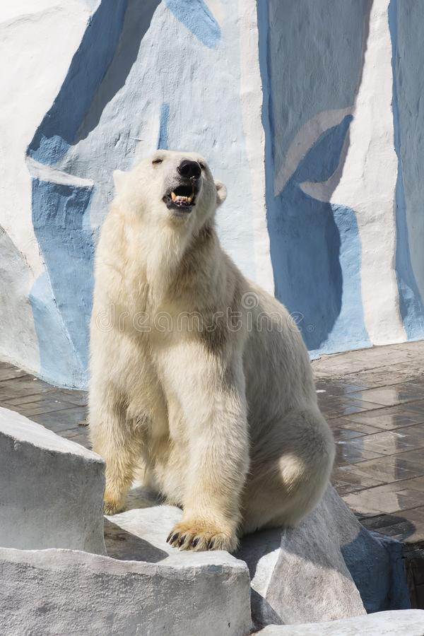 Parque zoológico de Novosibirsk Urso polar no jardim zool?gico fotografia de stock royalty free