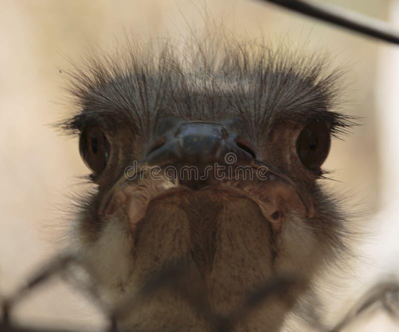 Parque zoológico del LA de la avestruz imagenes de archivo