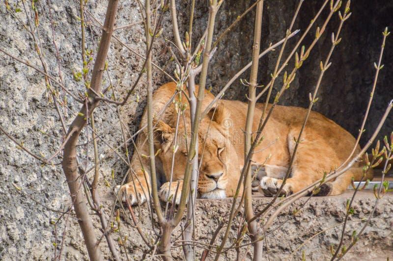 Parque zoológico femenino Amsterdam de Lion Sleeping Behind Bushes At Artis los Países Bajos imagen de archivo