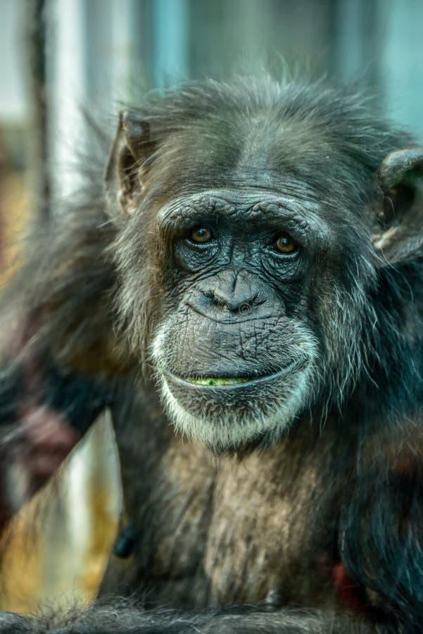 Parque zoológico gris viejo de Colchester del mono en el Reino Unido foto de archivo libre de regalías