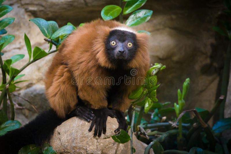 Parque zoológico nacional: lémur Rojo-superado (rubra de Varecia) fotos de archivo