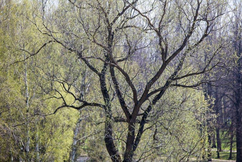Parquee el árbol con las hojas oscuras de la corteza y de los jóvenes en la primavera imagen de archivo libre de regalías