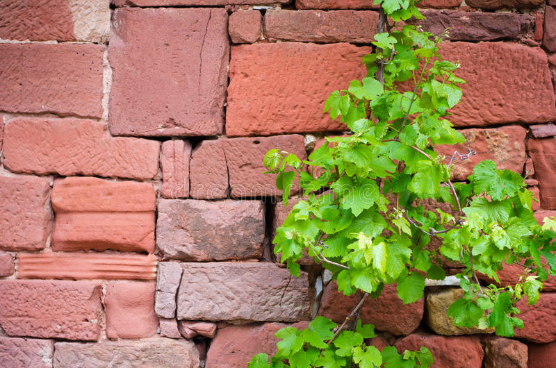 Vine. Parra on clay stone wall stock photography