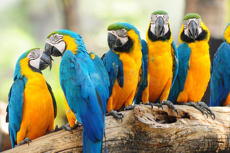 Parrets bleus photo libre de droits