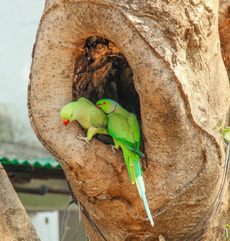 Parrocchetto dal collare o pappagallo indiano immagini stock