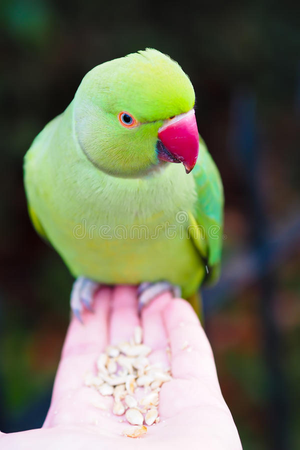 parrocchetto dal collare Rosa-anellato che mangia i semi dalla mano sopra fotografia stock libera da diritti