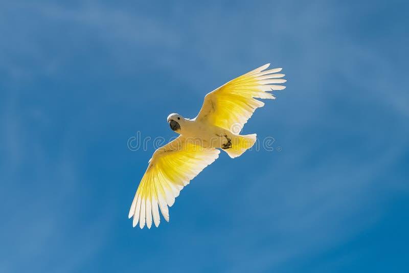 Parrocchetto dorato, uccello giallo immagini stock