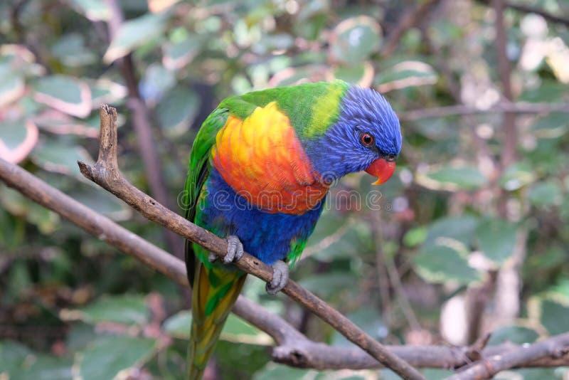 Parrocchetto solo dell'arcobaleno su un ramo di albero nella cattività immagini stock